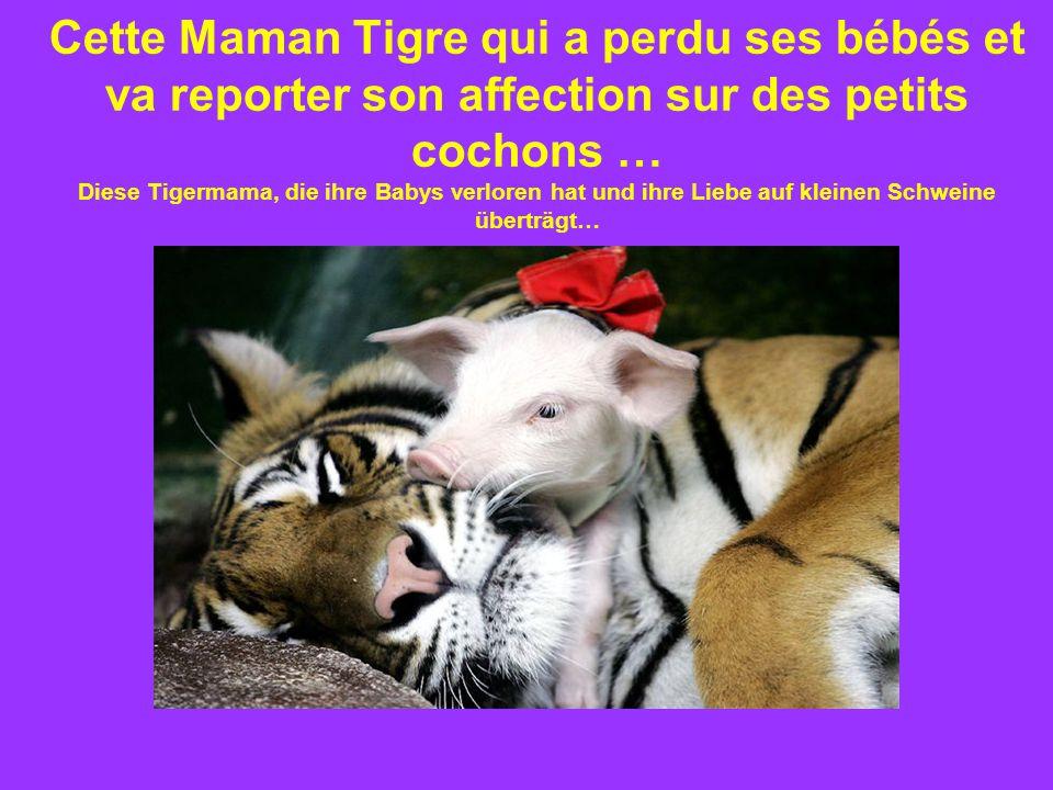 Cette Maman Tigre qui a perdu ses bébés et va reporter son affection sur des petits cochons … Diese Tigermama, die ihre Babys verloren hat und ihre Liebe auf kleinen Schweine überträgt…