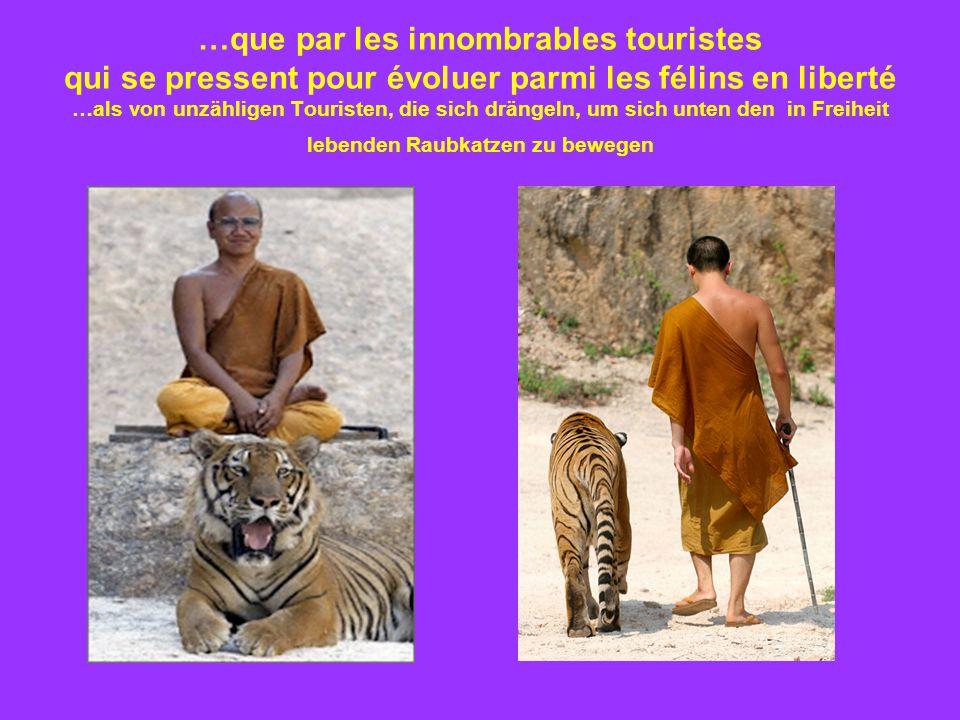 …que par les innombrables touristes qui se pressent pour évoluer parmi les félins en liberté …als von unzähligen Touristen, die sich drängeln, um sich unten den in Freiheit lebenden Raubkatzen zu bewegen