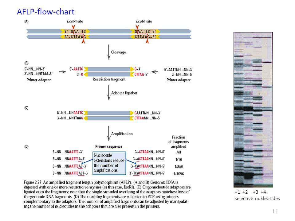 11 +1 +2 +3 +4 selective nukleotides AFLP-flow-chart