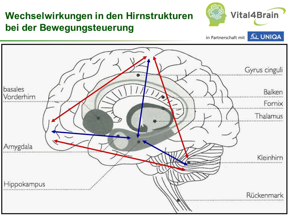 Chart 20 Wechselwirkungen in den Hirnstrukturen bei der Bewegungsteuerung