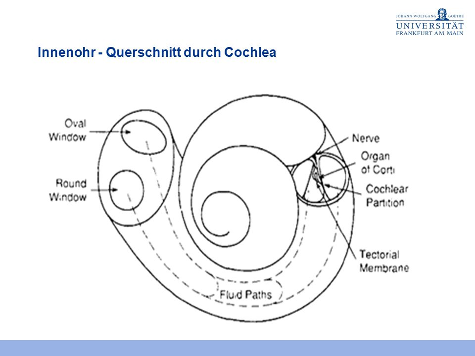 Innenohr - Querschnitt durch Cochlea
