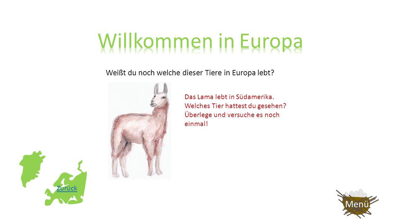 Weißt du noch welche dieser Tiere in Europa lebt? Sehr gut! Das Eichhörnchen lebt in Europa!! Noch mal spielen? Menü Ende