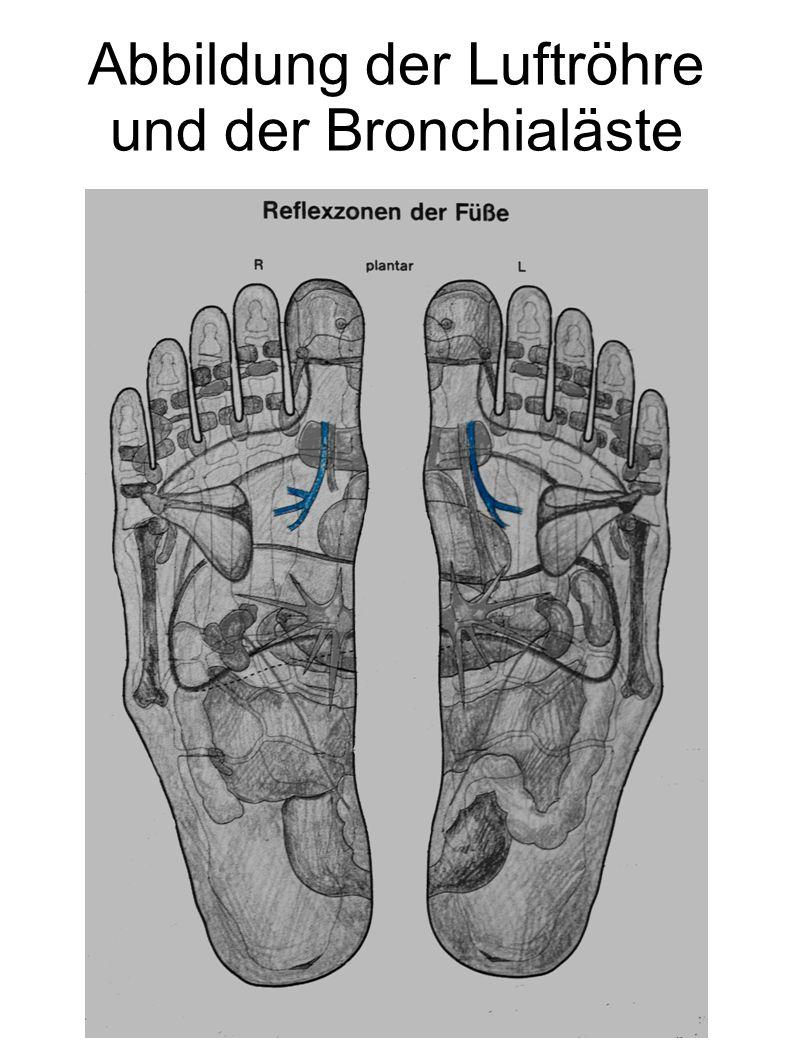 Abbildung der Luftröhre und der Bronchialäste