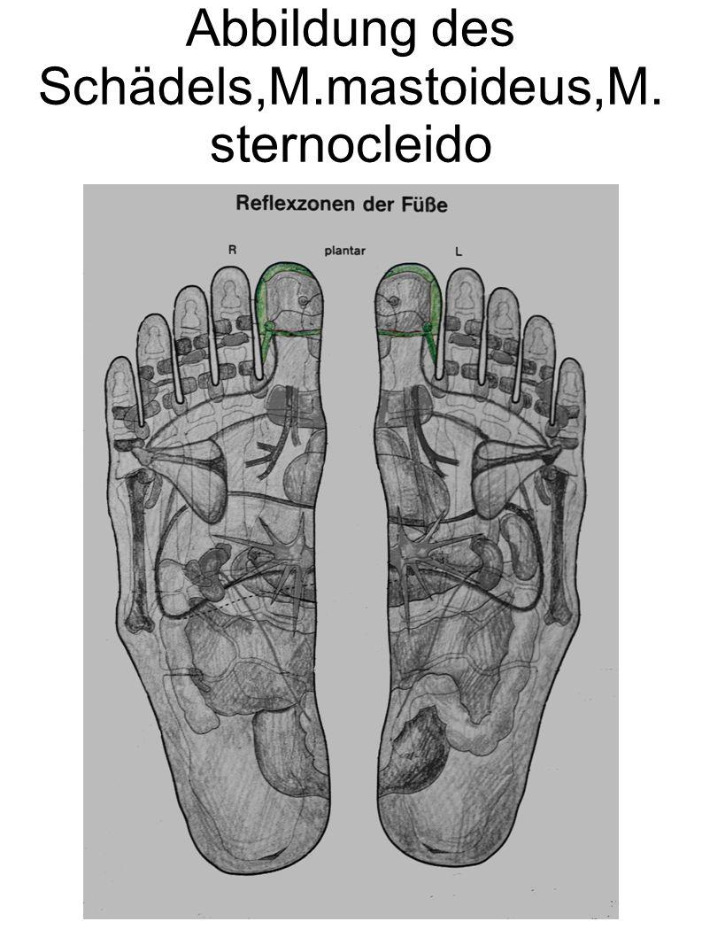 Abbildung des Schädels,M.mastoideus,M. sternocleido