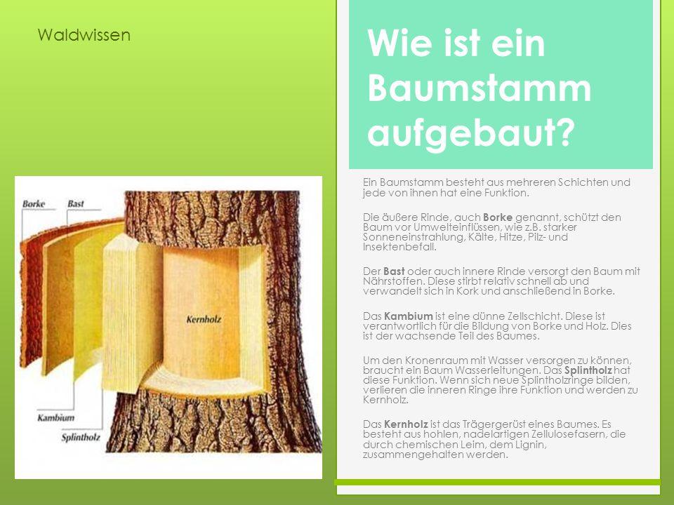 Waldwissen Ein Baumstamm besteht aus mehreren Schichten und jede von ihnen hat eine Funktion. Die äußere Rinde, auch Borke genannt, schützt den Baum v