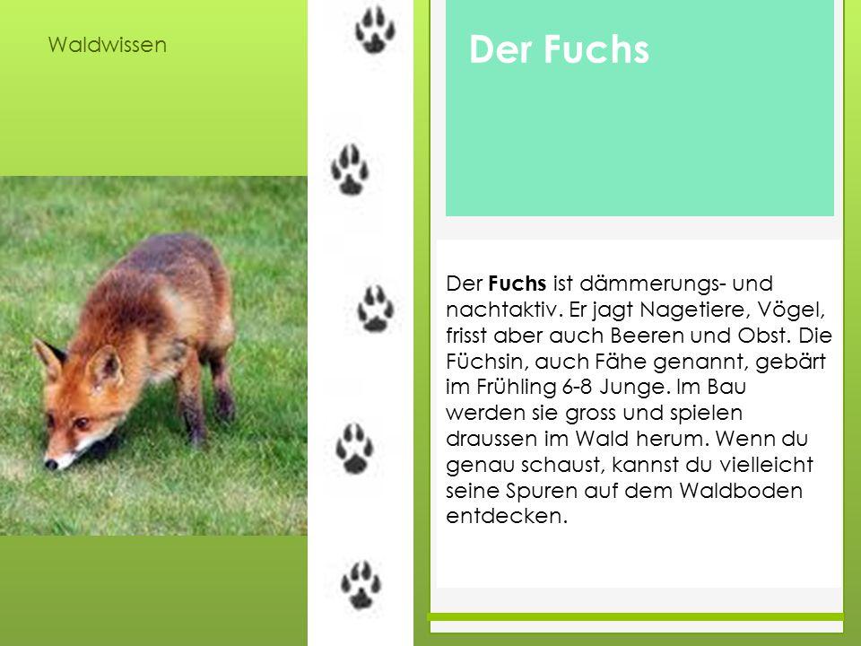 Waldwissen Der Fuchs ist dämmerungs- und nachtaktiv. Er jagt Nagetiere, Vögel, frisst aber auch Beeren und Obst. Die Füchsin, auch Fähe genannt, gebär