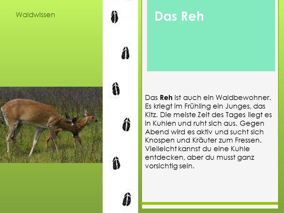 Waldwissen Das Reh ist auch ein Waldbewohner. Es kriegt im Frühling ein Junges, das Kitz. Die meiste Zeit des Tages liegt es in Kuhlen und ruht sich a