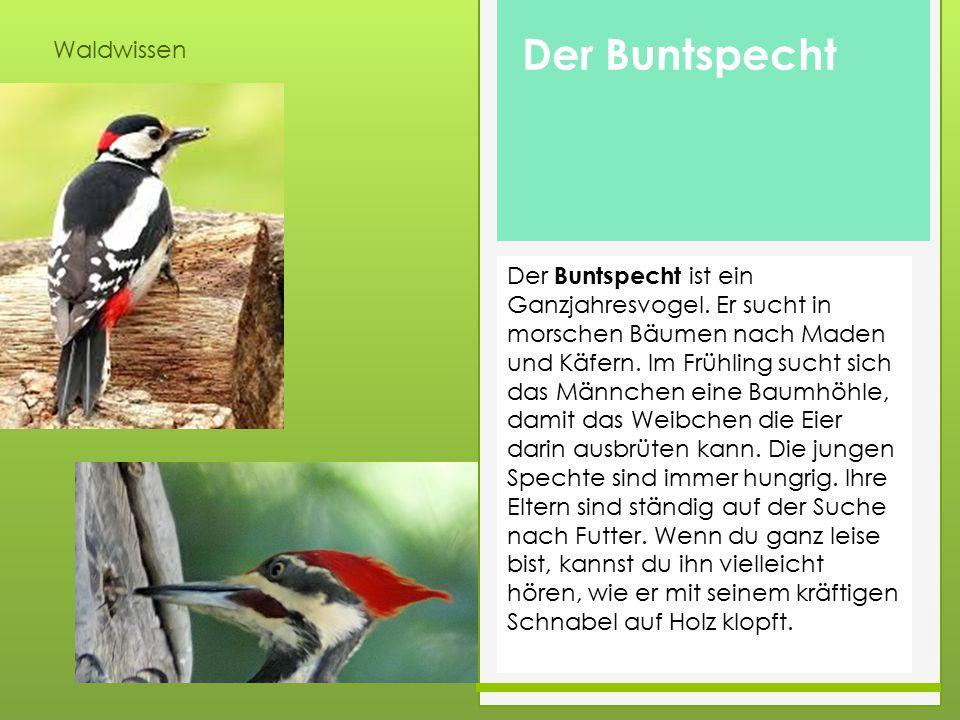 Waldwissen Der Buntspecht ist ein Ganzjahresvogel. Er sucht in morschen Bäumen nach Maden und Käfern. Im Frühling sucht sich das Männchen eine Baumhöh