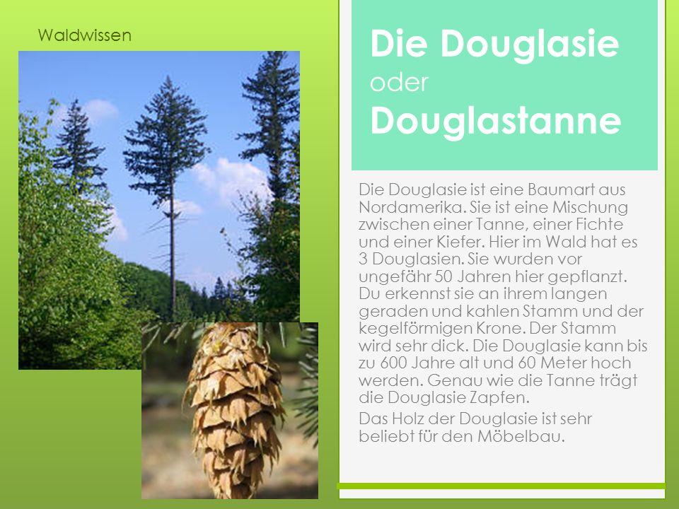 Waldwissen Die Douglasie ist eine Baumart aus Nordamerika. Sie ist eine Mischung zwischen einer Tanne, einer Fichte und einer Kiefer. Hier im Wald hat