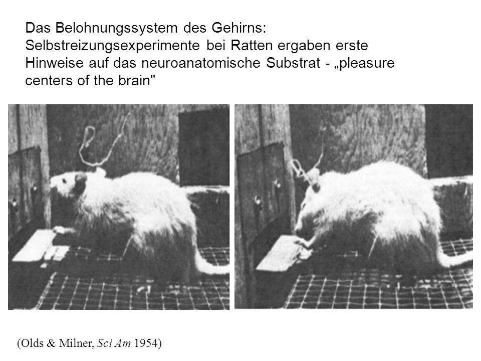 """Das Belohnungssystem des Gehirns: Selbstreizungsexperimente bei Ratten ergaben erste Hinweise auf das neuroanatomische Substrat - """"pleasure centers of the brain (Olds & Milner, Sci Am 1954)"""
