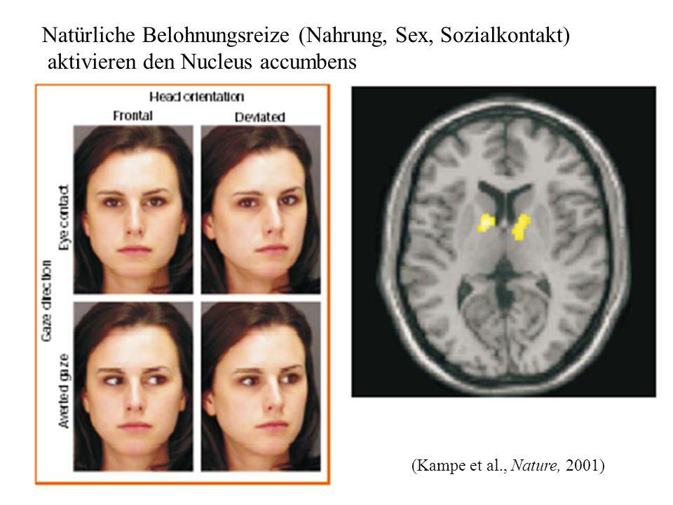 Natürliche Belohnungsreize (Nahrung, Sex, Sozialkontakt) aktivieren den Nucleus accumbens (Kampe et al., Nature, 2001)