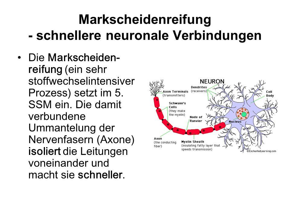 Markscheidenreifung - schnellere neuronale Verbindungen Die Markscheiden- reifung (ein sehr stoffwechselintensiver Prozess) setzt im 5.