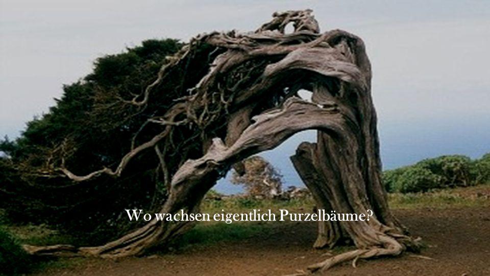 Wo wachsen eigentlich Purzelbäume?