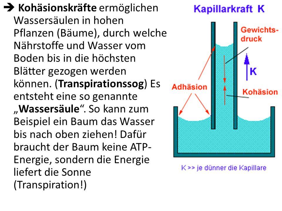 Wichtige Eigenschaften von Wasser 1. Kohäsion: Wassermoleküle binden aneinander aufgrund der zwischen den Wasserteilchen herrschenden Anziehungskräfte