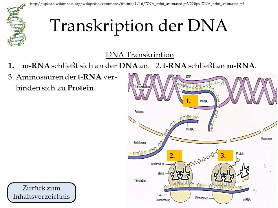 http://upload.wikimedia.org/wikipedia/commons/thumb/1/16/DNA_orbit_animated.gif/220px-DNA_orbit_animated.gif Transkription der DNA DNA Transkription 1.