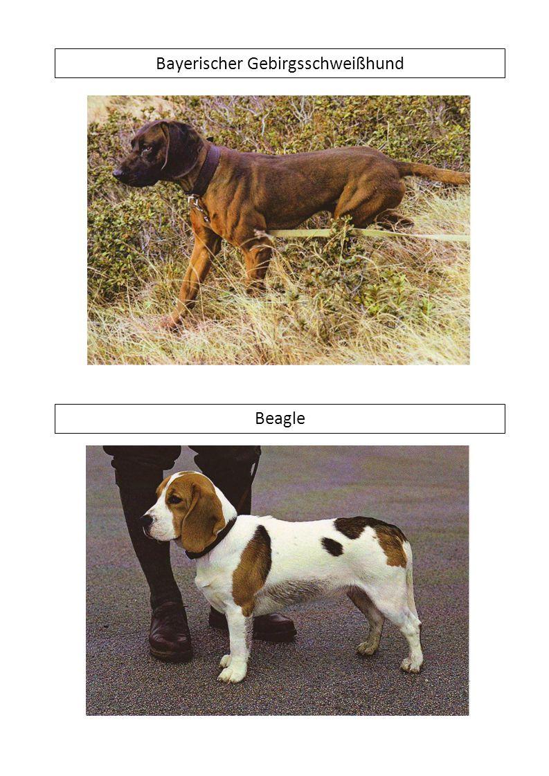 Bayerischer Gebirgsschweißhund Beagle