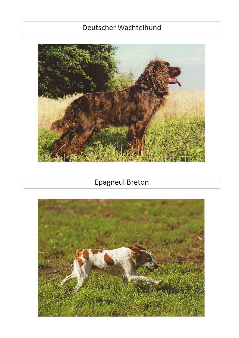 Deutscher Wachtelhund Epagneul Breton