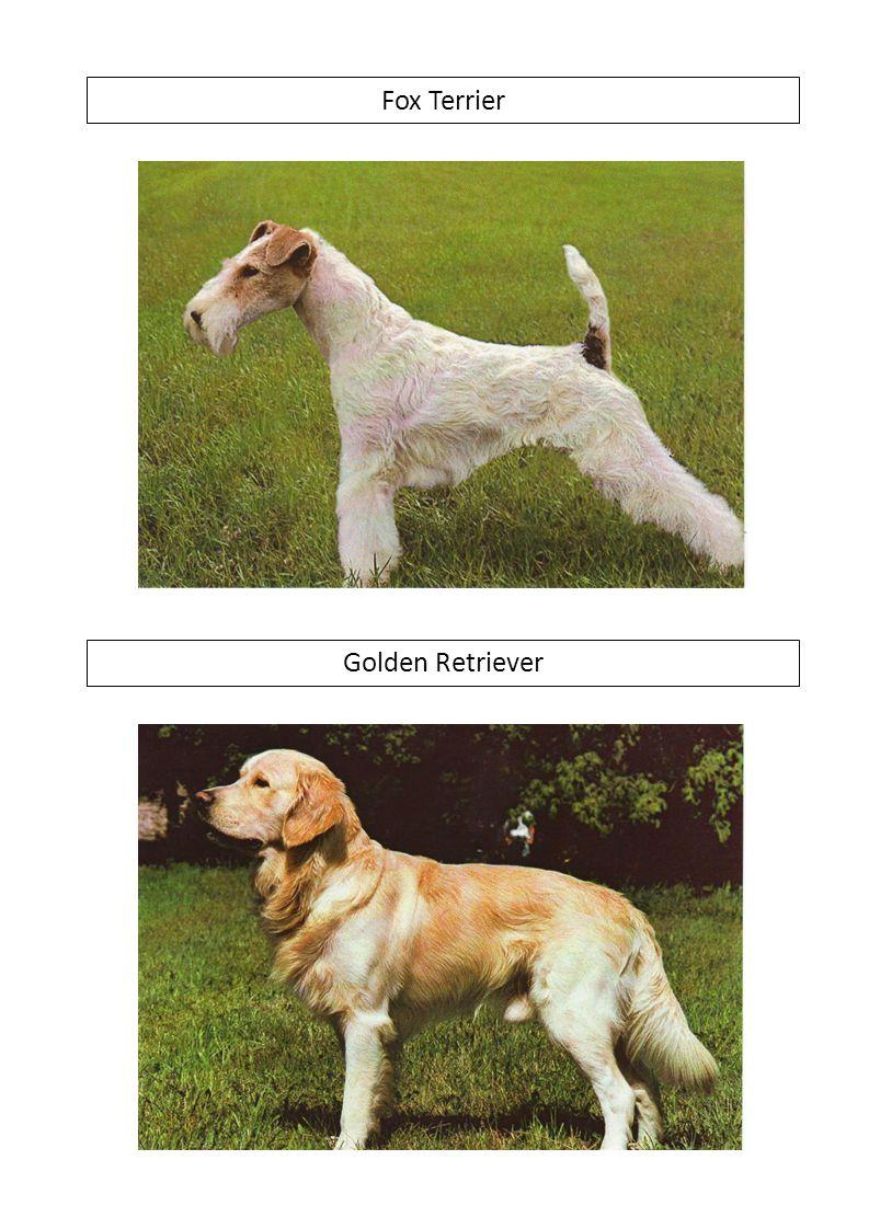 Fox Terrier Golden Retriever