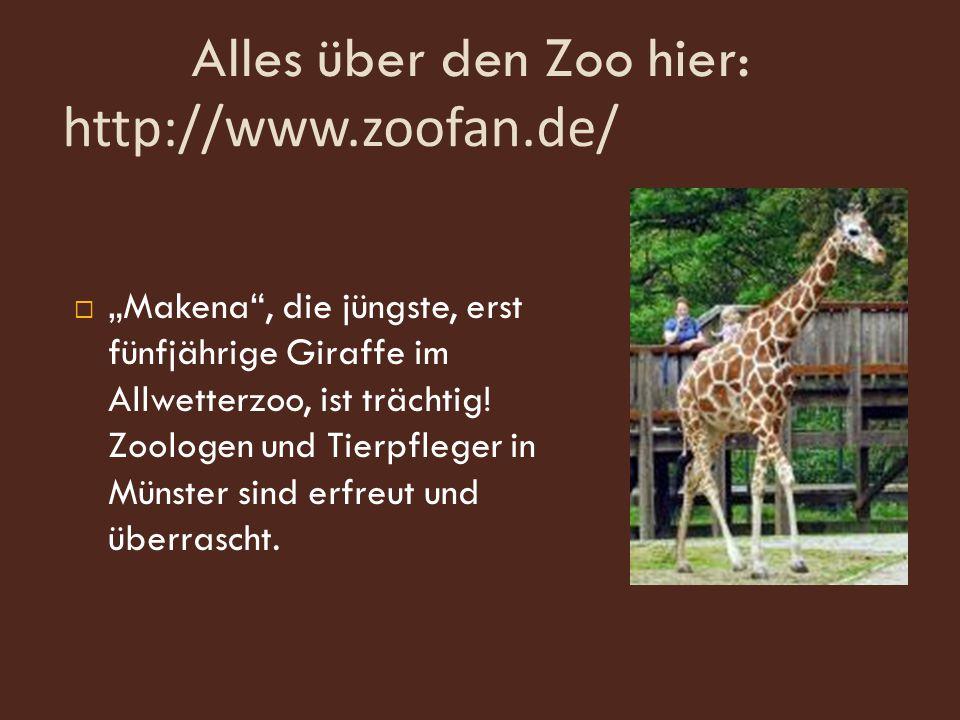 "Alles über den Zoo hier: http://www.zoofan.de/  ""Makena , die jüngste, erst fünfjährige Giraffe im Allwetterzoo, ist trächtig."