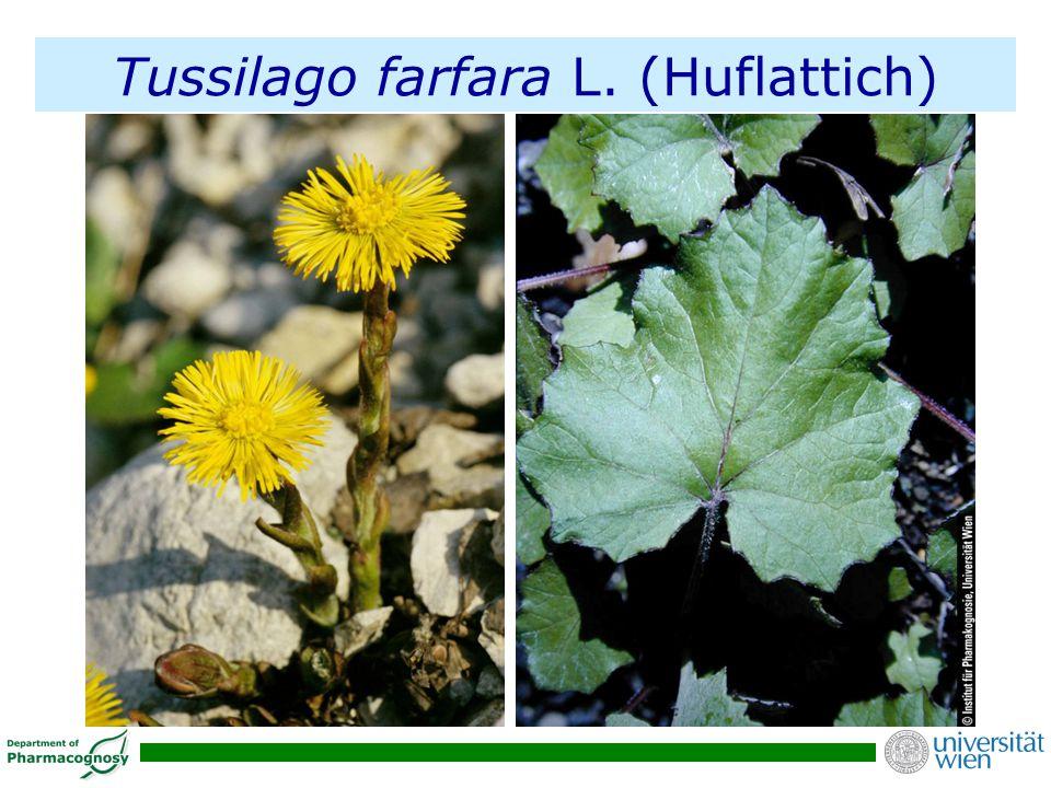 Tussilago farfara L. (Huflattich)