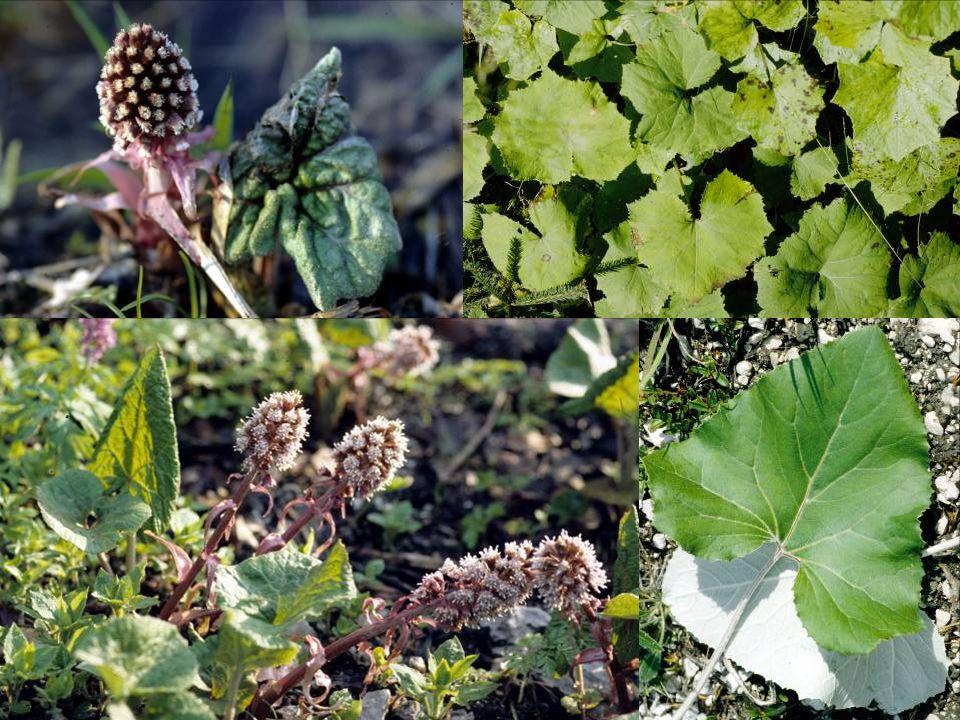 Pflanzliche Biotechnologie Nodienkulturen