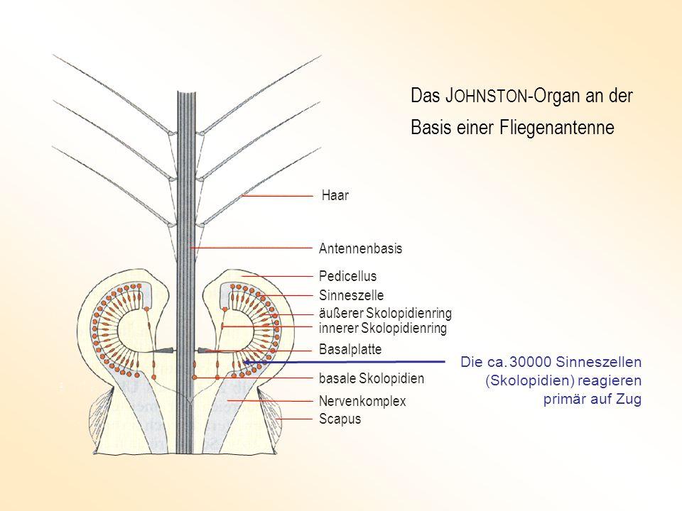 Haar Antennenbasis Pedicellus Sinneszelle äußerer Skolopidienring Basalplatte innerer Skolopidienring basale Skolopidien Nervenkomplex Scapus Das J OHNSTON -Organ an der Basis einer Fliegenantenne Die ca.