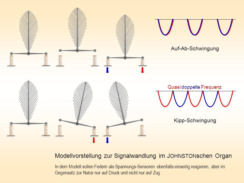 Auf-Ab-Schwingung Kipp-Schwingung Modellvorstellung zur Signalwandlung im J OHNSTON schen Organ In dem Modell sollen Federn als Spannungs-Sensoren ebenfalls einseitig reagieren, aber im Gegensatz zur Natur nur auf Druck und nicht nur auf Zug Quasi doppelte Frequenz