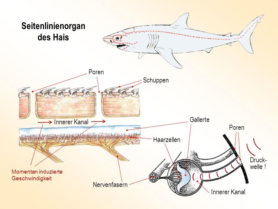 Seitenlinienorgan des Hais Haarzellen Nervenfasern Innerer Kanal Poren Schuppen Gallerte Druck- welle .