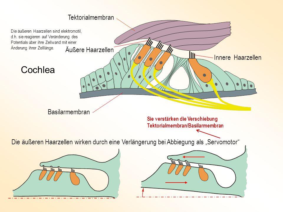"""Tektorialmembran Basilarmembran Äußere Haarzellen Innere Haarzellen Die äußeren Haarzellen wirken durch eine Verlängerung bei Abbiegung als """"Servomotor Cochlea Sie verstärken die Verschiebung Tektorialmembran/Basilarmembran Die äußeren Haarzellen sind elektromotil, d.h."""