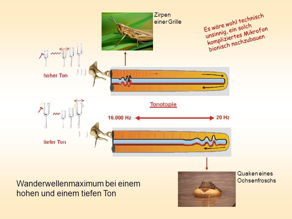 Wanderwellenmaximum bei einem hohen und einem tiefen Ton Zirpen einer Grille Quaken eines Ochsenfroschs Es wäre wohl technisch unsinnig, ein solch kompliziertes Mikrofon bionisch nachzubauen