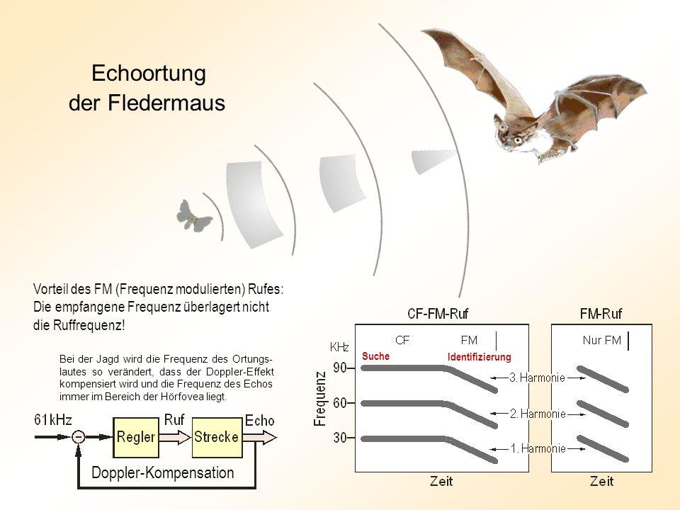 Echoortung der Fledermaus Doppler-Kompensation Suche Identifizierung Vorteil des FM (Frequenz modulierten) Rufes: Die empfangene Frequenz überlagert nicht die Ruffrequenz.