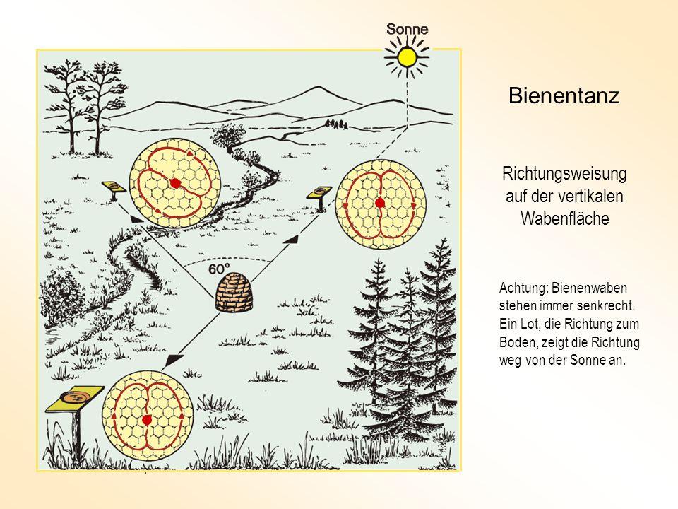Bienentanz Richtungsweisung auf der vertikalen Wabenfläche Achtung: Bienenwaben stehen immer senkrecht.