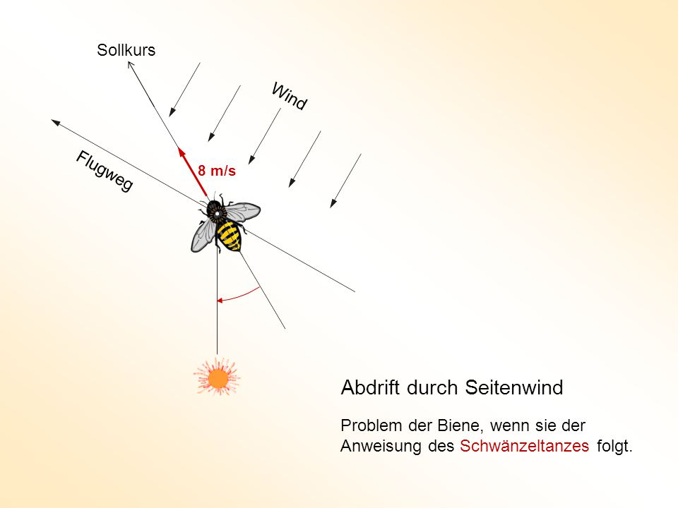 Wind Flugweg Abdrift durch Seitenwind 8 m/s Sollkurs Problem der Biene, wenn sie der Anweisung des Schwänzeltanzes folgt.