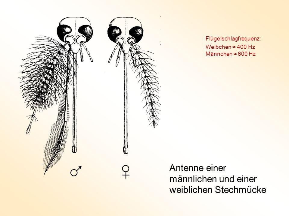 Antenne einer männlichen und einer weiblichen Stechmücke Flügelschlagfrequenz: Weibchen ≈ 400 Hz Männchen ≈ 600 Hz
