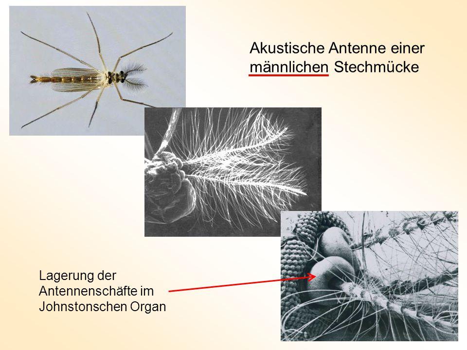 Lagerung der Antennenschäfte im Johnstonschen Organ Akustische Antenne einer männlichen Stechmücke
