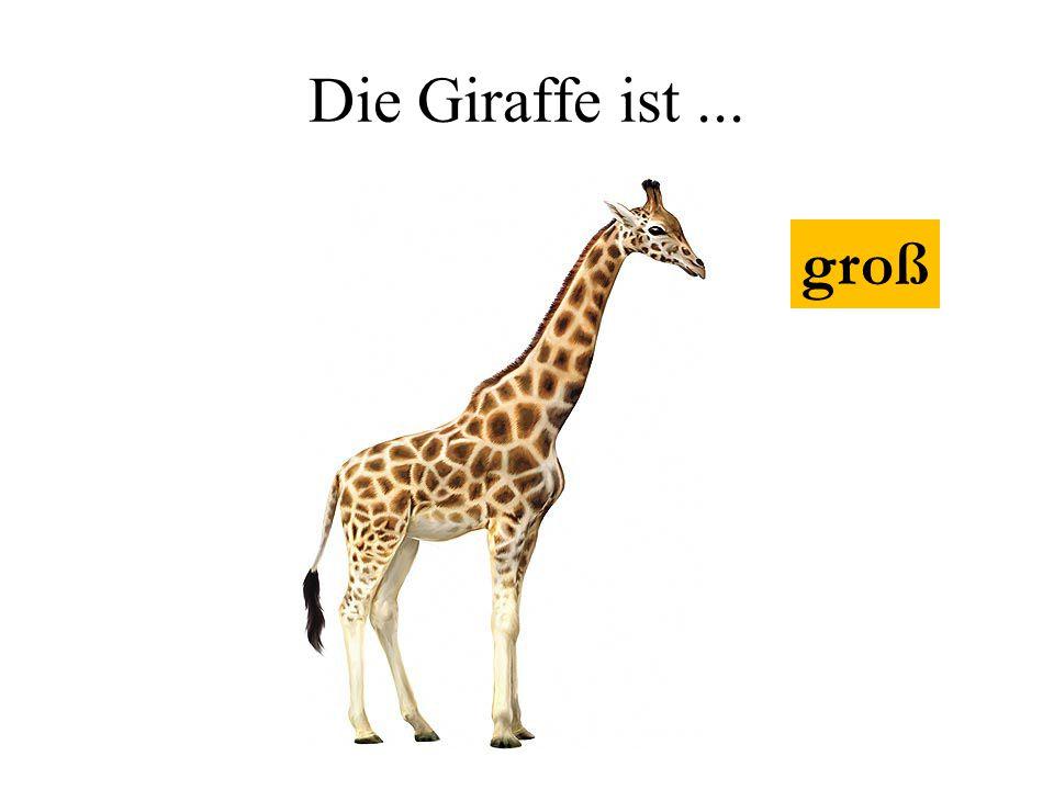 Die Giraffe ist... groß