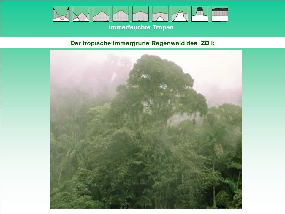 Immerfeuchte Tropen Beispiel für Stützwurzeln