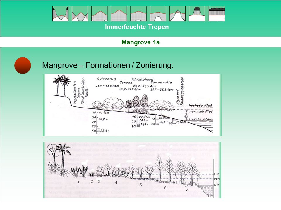 Immerfeuchte Tropen Mangrove 1a Mangrove – Formationen / Zonierung: