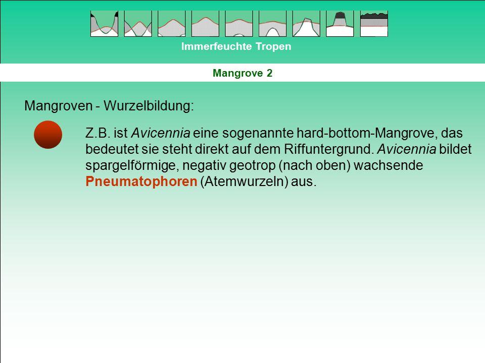 Immerfeuchte Tropen Mangrove 2 Mangroven - Wurzelbildung: Z.B. ist Avicennia eine sogenannte hard-bottom-Mangrove, das bedeutet sie steht direkt auf d