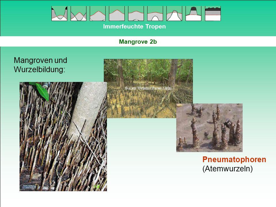 Immerfeuchte Tropen Mangrove 2b Mangroven und Wurzelbildung: Pneumatophoren (Atemwurzeln)