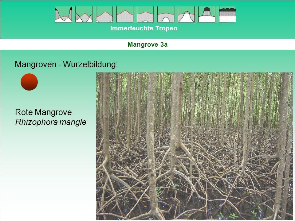 Immerfeuchte Tropen Mangrove 3a Mangroven - Wurzelbildung: Rote Mangrove Rhizophora mangle