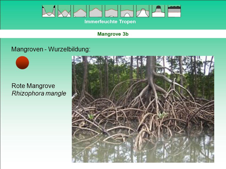 Immerfeuchte Tropen Mangrove 3b Mangroven - Wurzelbildung: Rote Mangrove Rhizophora mangle