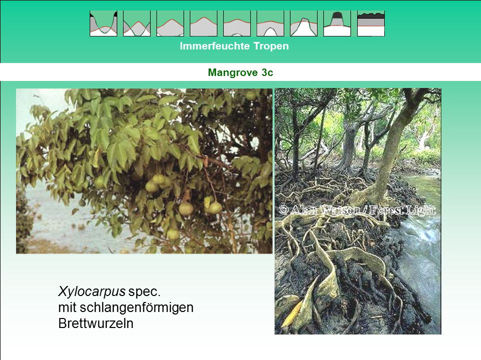 Immerfeuchte Tropen Mangrove 3c Xylocarpus spec. mit schlangenförmigen Brettwurzeln