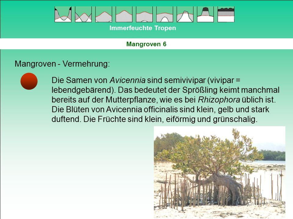 Immerfeuchte Tropen Mangroven 6 Mangroven - Vermehrung: Die Samen von Avicennia sind semivivipar (vivipar = lebendgebärend). Das bedeutet der Sprößlin