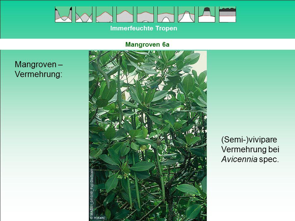 Immerfeuchte Tropen Mangroven 6a Mangroven – Vermehrung: (Semi-)vivipare Vermehrung bei Avicennia spec.