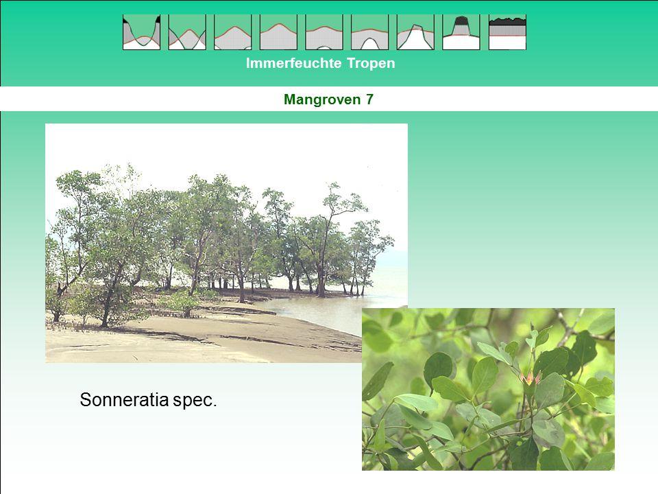 Immerfeuchte Tropen Mangroven 7 Sonneratia spec.