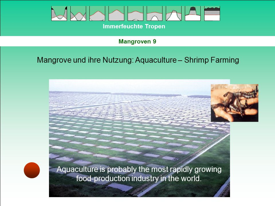 Immerfeuchte Tropen Mangroven 9 Mangrove und ihre Nutzung: Aquaculture – Shrimp Farming Aquaculture is probably the most rapidly growing food-producti