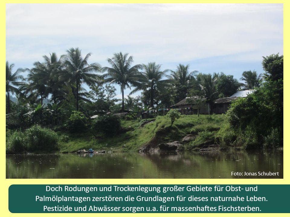 Doch Rodungen und Trockenlegung großer Gebiete für Obst- und Palmölplantagen zerstören die Grundlagen für dieses naturnahe Leben. Pestizide und Abwäss