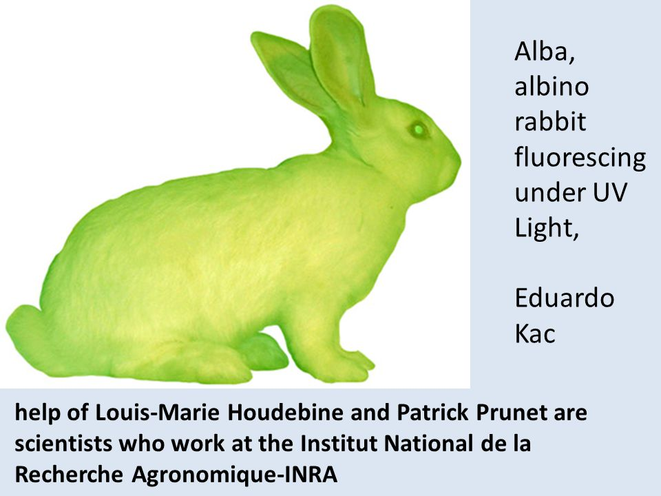 help of Louis-Marie Houdebine and Patrick Prunet are scientists who work at the Institut National de la Recherche Agronomique-INRA Alba, albino rabbit