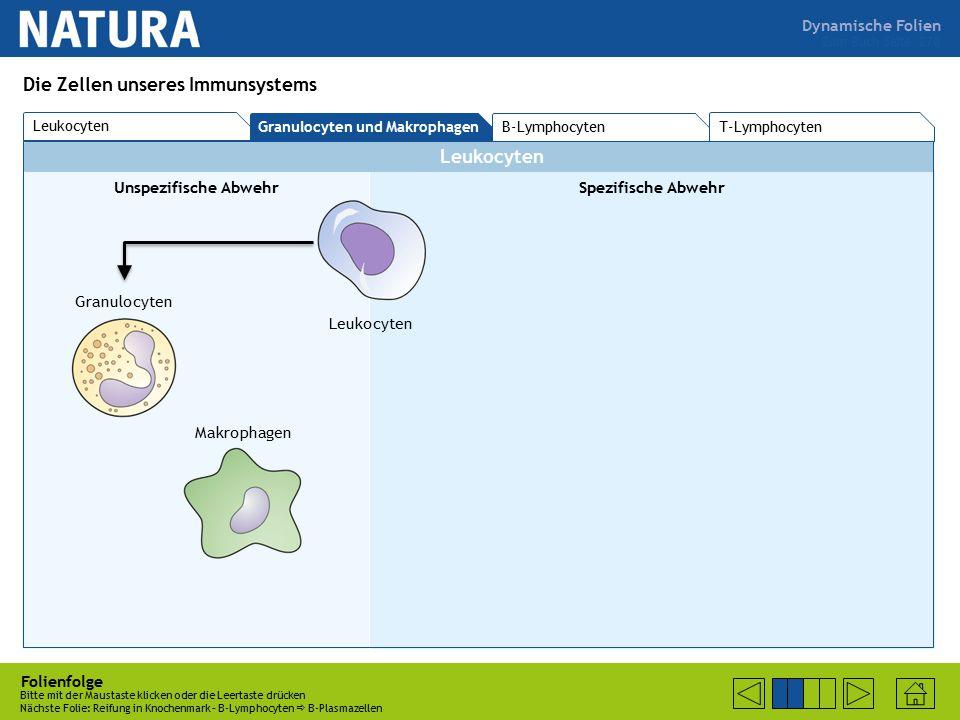 Dynamische Folien Leukocyten Unspezifische AbwehrSpezifische Abwehr Folienfolge Bitte mit der Maustaste klicken oder die Leertaste drücken Nächste Folie: Reifung in Knochenmark – B-Lymphocyten  B-Plasmazellen Zum Buch Seite 270 Die Zellen unseres Immunsystems Leukocyten Granulocyten Makrophagen T-Lymphocyten Leukocyten Granulocyten und Makrophagen B-Lymphocyten